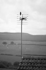 Bird on a TV aerial (Conor Maitland) Tags: sparrow ayrshire bird wildlife