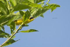 Peek-a-Boo (J. E. Foster) Tags: caribbean caroni geothlypisaequinoctialis maskedyellowthroat nikond7100 sigma150500mmf563dgoshsm trinidadandtobago animal bird nature ricefields wildlife