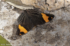 Adelpha boreas (Hiro Takenouchi) Tags: butterflies butterfly peru perú schmetterling mariposa nature insect wildlife