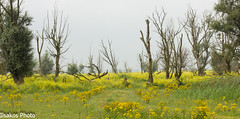 yellow beauty at oostvaardersplassen