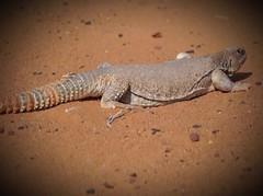 فزته بواحد لحالها 😂فل تعديل شف كيف ترتفع الكفرات الامامية #مساء_الخير #ضب#لحظة #غضب #المقطع #جحرة #مغلق#الضب #سحلية #سحالي #زواحف#مكشات #كشته#sonyalpha#القصيم #السعودية #تصويري #مقطع #video#دينصور #دينصورات#Lizard #lizards #reptiles #dinosaur #dinosau (photography AbdullahAlSaeed) Tags: مكشات كشته dinosaurs video مقطع مساءالخير reptiles سحالي animal ضب lizard lizards حيوانات دينصورات سحلية dinosaur السعودية زواحف المقطع دينصور تصويري جحرة القصيم الضب لحظة sonyalpha animals مغلق غضب حيوان