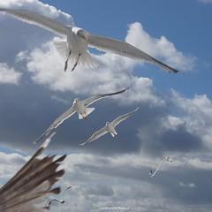 DSC07118 (ZANDVOORTfoto.nl) Tags: seagull seagulls meeuwen birds wildlife animals zeevogels seabirds flying zeemeeuw zeemeeuwen texel