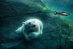 """I'm gonna get me a fish"" (ucumari photography) Tags: ucumariphotography polarbear ursusmaritimus oso bear animal mammal zoo osopolar ourspolaire oursblanc eisbr sbjrn orsopolare  aurora columbuszoo ohio january 2013 specanimal"