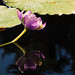 Water Lily, Mirrored