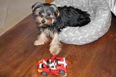 Flo Yorkie Poo Puppy  Lego Car (@oakhamuk) Tags: flo yorkiepoo puppy lego car martinbrookes