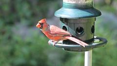 Not Hungry? (blazer8696) Tags: 2016 brookfield ct connecticut ecw obtusehill t2016 usa unitedstates cardinal cardinalis cardinaliscardinalis img1279 northern northerncardinal passeriformes