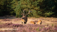 DSC06270.jpg (ChrMous) Tags: tamronsp150600mmf563 veluwe nationaalparkhogeveluwe sonyslta99 edelhertcervuselaphus landschapvzw nederland