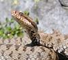 Vipera berus (aspisatra) Tags: vipera berus female alpi bergamasche italy marasco pèliade vipère serpent serpente