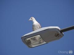I m watching! (choong mun) Tags: white pigeon bird blue lumix45175mm bluesky summer outdoor panasoniclumixg7