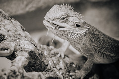 Main Course (toletoletole (www.levold.de/photosphere)) Tags: fujixpro2 xpro2 fuji xf18135mm bartagam bw sw animal tier reptile reptil