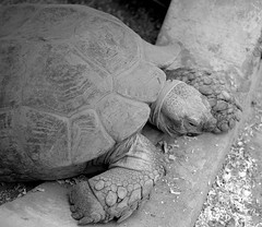 Animal minral (Olivr 's pictures) Tags: olivrspictures leica leicax typ113 bw portrait toulouse zoo plaisancedutouch animals monochrom tortue tortle