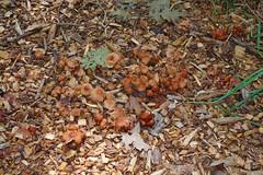 Mr. Frodo. Oh, Mr. Frodo! Treasure. A Hobbit's Field of Dreams. (Imagination04) Tags: reedturner reed turner woodland preserve long grove il illinois mushroom fungus fungi hdpentaxda1685mmf3556eddcwr pentaxda1685mm pentax1685mm da wr