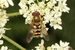 Syrphidae (Hoverfly sp.) - Guernsey (Nick Dean1) Tags: syrphidae syrphinae syrphini diptera hoverfly hexapoda hexapod animalia arthropoda arthropod hexapods guernsey channelislands greatbritain canon canon7d macro