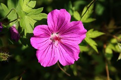 Flower (Hugo von Schreck) Tags: hugovonschreck flower blume blte macro makro outdoor canoneos5dsr tamron28300mmf3563divcpzda010 onlythebestofnature givemefive