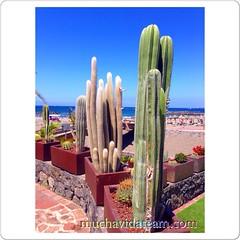 Cactus... #playadelasamericas #Adeje #Tenerife #islascanarias #paradise #magic #love #muchavida #muchavidateam #canaryislands #cactus #teneriffa #canarias (Muchavida) Tags: playadelasamericas adeje tenerife islascanarias paradise magic love muchavida muchavidateam canaryislands cactus teneriffa canarias