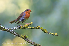 Lonely robin (Pascale & Yan Photography) Tags: nature animal bird european robin green bokeh branches tree light canon 5d3 5diii 100400 14xiii
