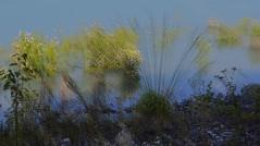 bouquets romantiques sur le lac (jean_game) Tags: nature extrieur paysage eau lac douceur finesse vgtation couleurs pointillisme