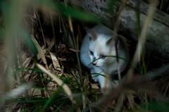 white kitten (aqugacosmo) Tags: pentax oldlens pentaxm50mm pentaxm50mmf20 japan cats straycats straycat cat wildcat wildcats kitten k5iis k5s whitecat