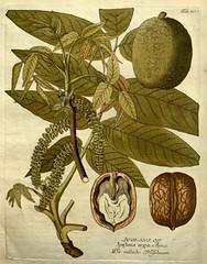 n327_w1150 (BioDivLibrary) Tags: botany botanymedical medicinalplants pictorialworks missouribotanicalgardenpeterhravenlibrary bhl:page=6463118 dc:identifier=httpbiodiversitylibraryorgpage6463118 juglansregia