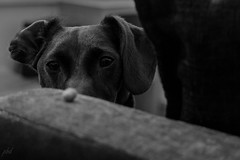 game face on (debbiehornsby@ymail.com) Tags: dog cockerjack blackandwhite petportrait concentrate nut focus a6000 lightroom pets dogs sony