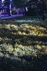 San Anton Gardens, august 2014 (Tefilo de Sales) Tags: malta garden san anton gardens sanantongardens summer film fuji fujifilm fujixtra400 nikkormatel nikkormat nikon nikkor 50mm 35mm expired bush flowers bokeh trip erasmus