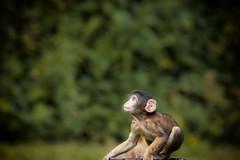 Berberffchen vor dem groen Sprung (Thomas D*) Tags: greatphotographers hodenhagen serengetipark berberaffe ape primaten primate macacasylvanus barbarymacaque zoo tierpark freigehege outdoorenclosure