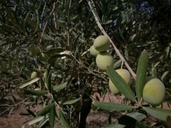 Olives (PurpleTita) Tags: olivetrees ulivi olive olives nature natura sicily sicilia estate summer honor8 smartphone riesi italia italy