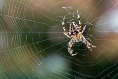 Garden Spider [In Explore 23.9.2016] (Rich Walker75) Tags: web spiderweb spider arachnid gardenspider garden animal creature bokeh macro close up