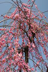 IMG_7710 (jwirtz) Tags: 2012 plumblossom    sogabairin  odawaraplumblossom