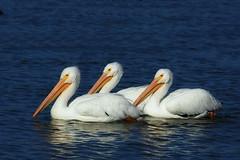 Three Pelicans (TexasEagle) Tags: pelicans dallas texas whiterocklake threeofakind pelecanuserythrorhynchos americanwhitepelicans beautifulworldchallenges
