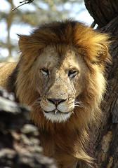 Male lion in Solio Game Park, Kenya (Sallyrango) Tags: africa kenya wildlife lion safari simba solio malelion africanwildlife flickrbigcats soliogamepark