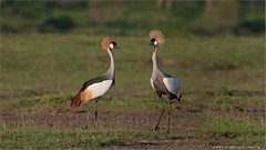 African Crowned Cranes (Raymond J Barlow) Tags: africa red colour bird art nature nikon wildlife adventure avian d300 200400vr raymondbarlowtours