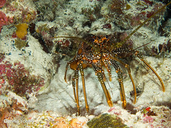 Lobster (dlyoung) Tags: fall wildlife scuba bonaire flowersplants karpata shoredive divetype