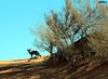 (mam7000) Tags: حيوان صحراء القصيم نفود الثعلب flickrandroidapp:filter=none