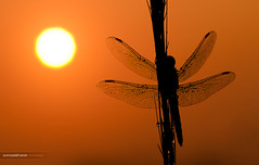 The end of a wait (Sandeep Somasekharan) Tags: india closeup insect nikon dragonfly sandy tube kerala extension nikkor f18 80mm d300s sandeepsomasekharan sandyclix