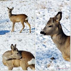 Rehbock (peterphot) Tags: winter wildanimals wildtiere rehwild