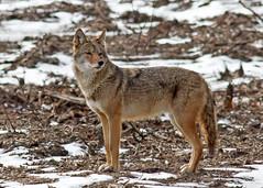 Coyote (John Picken) Tags: coyote chicago animal rosehillcemetery picken wwwpickencom