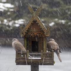 Love is......Sheltering in the snow together (dirk huijssoon) Tags: bird shelter spirithouse happinessis loveis sheltering tortel turtledove streptopeliaturtur tortelduif turksetortel