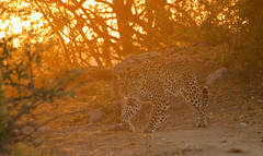 Early Morning Leopard (michaelbaynes87) Tags: africa animal cat wildlife safari leopard bigcat botswana chobe chobenationalpark photographyforrecreation