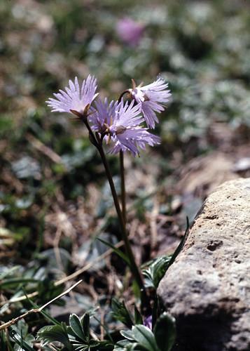 Soldanelle (Soldanella alpina, primulacée)