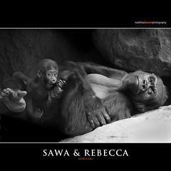 SAWA & REBECCA (Matthias Besant) Tags: animal animals mammal deutschland monkey tiere hessen gorilla daughter mother ape monkeys mutter mammals apes fell tier tochter affen primates silverback affe primat silberruecken hominidae primaten querformat saeugetier saeugetiere menschenaffen hominoidea trockennasenaffe menschenartige affenfell menschenartig affenblick matthiasbesantphotography matthiasbesant