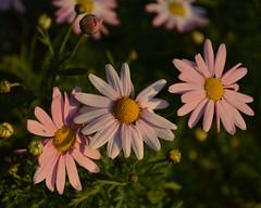 Pale pink daisies (Monceau) Tags: pink daisies three sunlit palepink 113picturesin2013 57threeormoreofthesamething