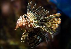 Lion Fish (Wayne Horsley) Tags: southafrica lionfish dur a77 ushakamarineworld top20fish explorewinnersoftheworld dragondaggerphoto slta77