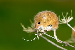 Harvest Mouse (Micromys minutus) (GFCPhotography) Tags: uk wild house color cute nature field animal closeup cheese hair fur mouse mammal nose rodent countryside paw colorful flavor little farm tail small harvest fluffy shy domestic british balance pest cultivation flavorful burrows micromysminutus derbyshirewildlife gfcphotography