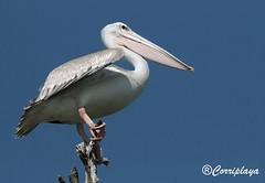 Pelícano Rosado (Pelecanus rufescens) Pink-backed Pelican (Corriplaya) Tags: birds aves gambia pinkbackedpelican pelecanusrufescens pelícanorosado corriplaya