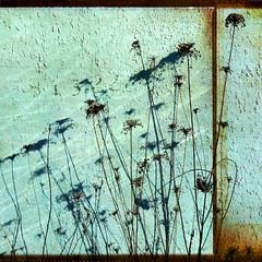 nature's graffiti (1crzqbn) Tags: sunlight color nature square weeds shadows textures 7d ie agora deepavali vividimagination artdigital trolled memoriesbook sidewaysrain awardtree naturesgraffiti magicunicornverybest magicunicornmasterpiece crazygeniuses exoticimage 1crzqbn netartii jesuscmsfavoritesgallery