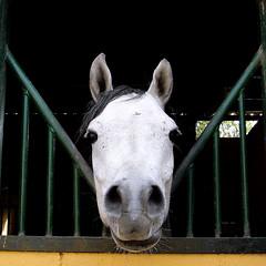 Presentacin (Miss Mandarina) Tags: portrait horse topf25 animal closeup caballo cheval topf50 topf75 explore topf100 cavallo animali cavall explored cabalo sonydsch20 missmandarina