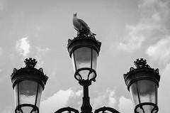 Fierce king of the streetlamp (Leonard M.) Tags: ireland bw dublin white black king fierce streetlamp seagull e bianco nero