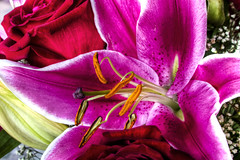 Blooming Daylily (Ray Chiarello) Tags: flower macro stamen daylily bloom hdr canon7d tamronsp2470mmf28divcusd