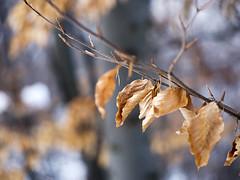foglia_Valmala2913_P3020627_1 (stegdino) Tags: macro leaf dof decay dry thumbsup secco fogli herowinner storybookwinner pregamesweepwinner gamesweepwinner storybookttwwinner